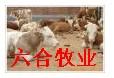 養牛肉牛肉羊山東肉牛牛羊黃牛波爾山羊養殖20081029
