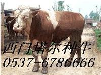 供應肉牛犢,奶牛,黑白花牛,夏洛來牛20081030