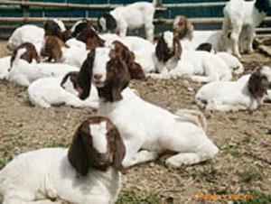 大批供应高产鲁西黄牛、西门塔尔牛.种牛、种羊,小尾