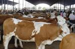 万头肉牛黄牛波尔山羊繁育养殖出售总场20081102