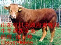 大量供应西门塔尔肉牛 鲁西黄牛 利木赞肉牛20081102