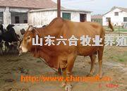 牛羊肉牛山東牛羊肉牛養殖魯西黃牛養殖繁育基地20081105