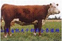 供应西门塔尔肉牛 鲁西黄牛 利木赞肉牛20081105