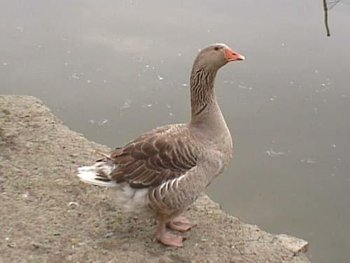 鵝-訂購熱線13719883161