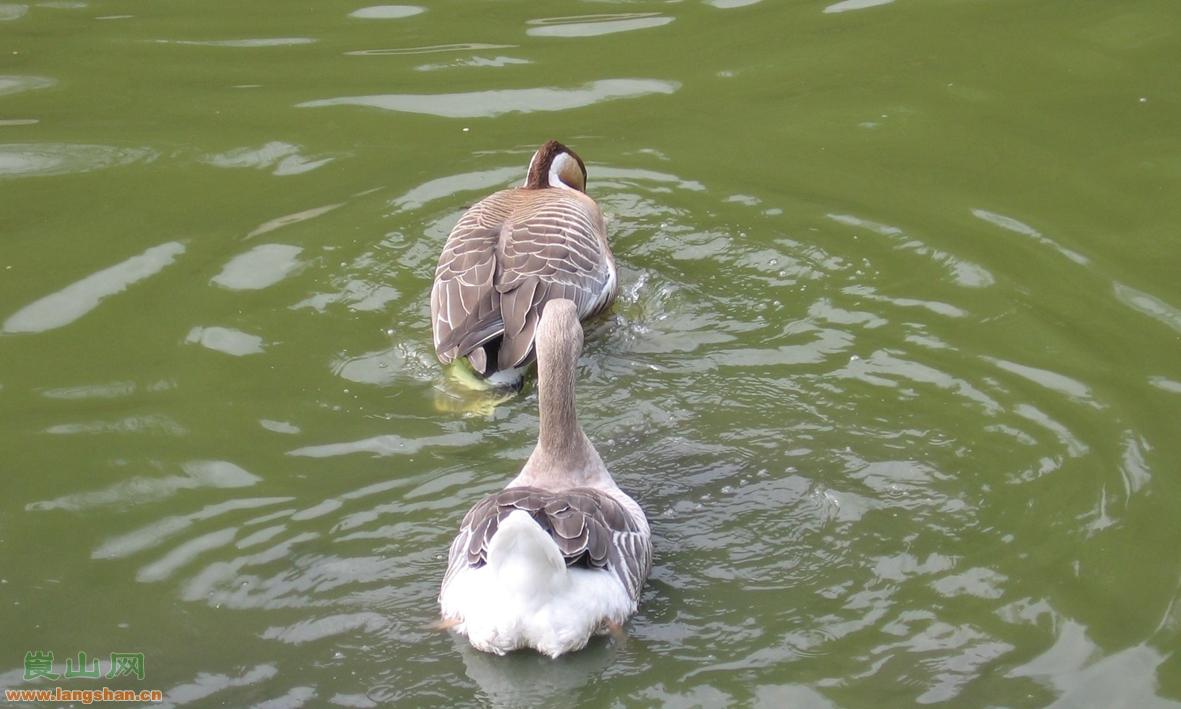 灰鵝-訂購熱線13719883161