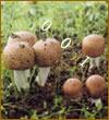 姬松茸菌丝粉及多糖