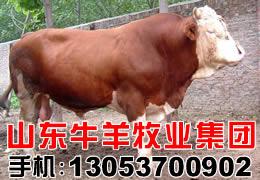 供應良種牛羊,利木贊牛,波爾山羊,肉牛